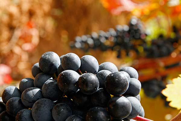 Uva Tempranillo | Rioja Alavesa